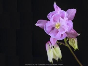 Mezei virágok háttérképek 1