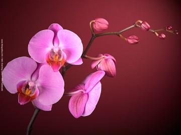 Nőnapi üdvözlet - Orchidea 02