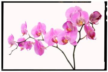 orchidea kiállítás - virágzás