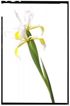 virág dekoráció - iris flower 01