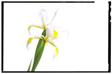virág dekoráció - iris flower 02