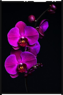 orchideák - orchid.purple (15)
