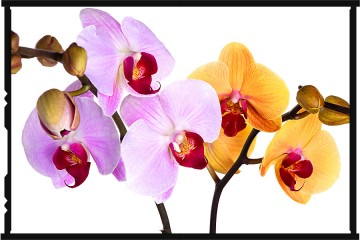 orchideák - orchid_yellow.pink