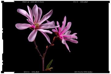 virág fotók magnólia flower poster 1