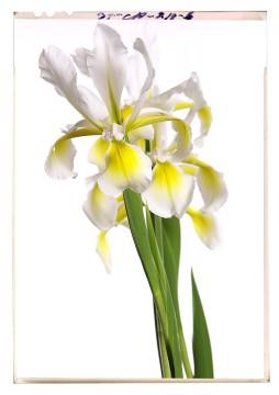 virág képek a fehér árnyalatai iris flower poster 4