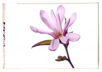 virág képek a fehér árnyalatai magnolia flower poster 1