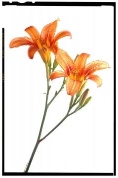 virág képek a fehér árnyalatai red lilom flower poster 2