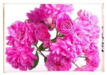 virág képek a fehér árnyalatai war of the roses 1