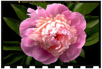 virág fotózás fotóstúdióban 1