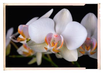 orchidea fajták - fotó kiállítás 01